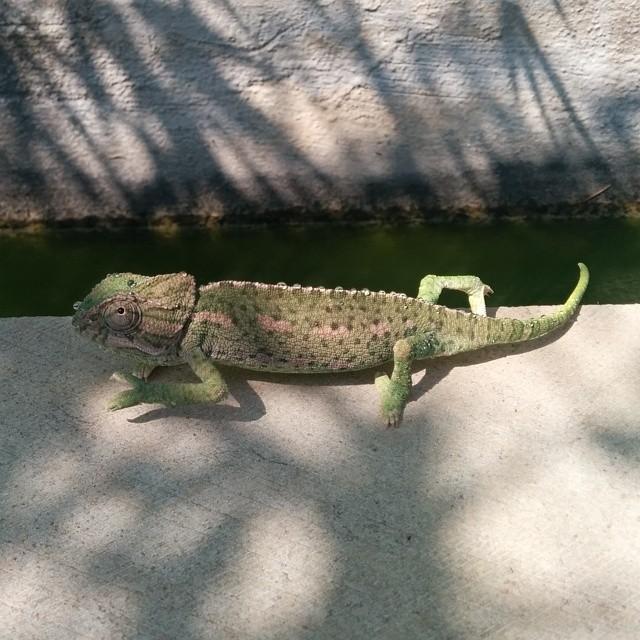 Compartiendo el paseo por el parque con ¡un camaleón! O_o