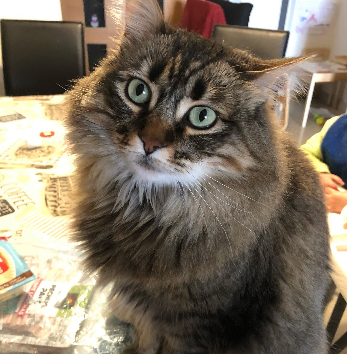 Ella os mira, pero está pensando en la pechuga de pavo de encima de la mesa  #gatos